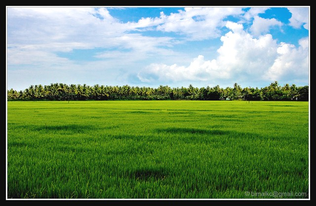 Paddy Fields of Kerala