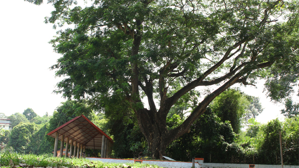 The Towering Canopy that envelops the Sharngakkavu