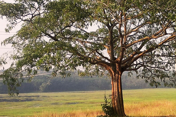 Alstonia scholaris - the Yakshi Pala of Kerala